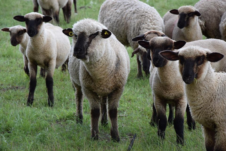 schapen ism makelaars
